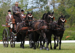 arabo-friesian-four-in-hand-southern-pines-nc (7)
